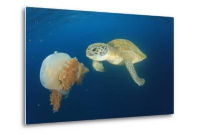 Green Sea Turtle Feeds on Large Pelagic Jellyfish-Rich Carey-Metal Print