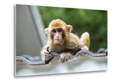 China 10MKm2 Collection - Baby Monkey-Philippe Hugonnard-Metal Print