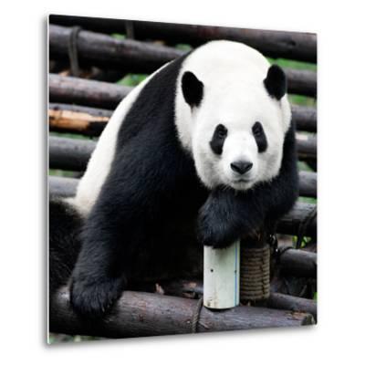 China 10MKm2 Collection - Giant Panda-Philippe Hugonnard-Metal Print