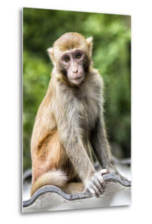 China 10MKm2 Collection - Monkey Portrait-Philippe Hugonnard-Metal Print