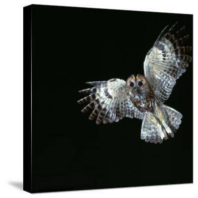 Tawny Owl in Flight-CM Dixon-Stretched Canvas Print
