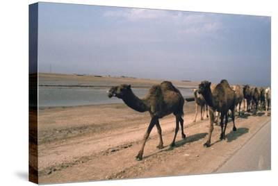 Camel Train Travelling on a Road Alongside the Euphrates Near Nasiriya, Iraq, 1977-Vivienne Sharp-Stretched Canvas Print