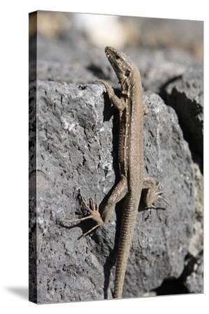 Lizard, La Palma, Canary Islands, Spain, 2009-Peter Thompson-Stretched Canvas Print