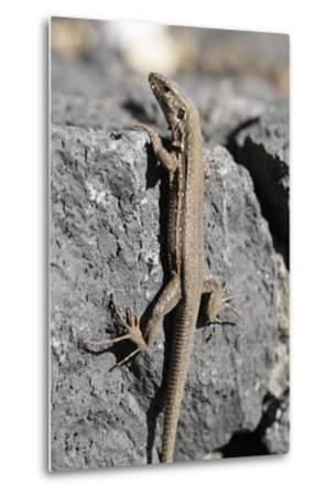 Lizard, La Palma, Canary Islands, Spain, 2009-Peter Thompson-Metal Print