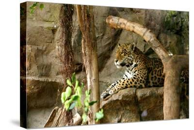 Jaguar, Loro Parque, Tenerife, Canary Islands, 2007-Peter Thompson-Stretched Canvas Print
