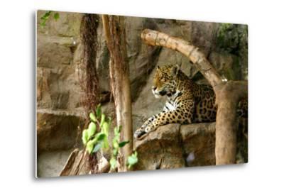 Jaguar, Loro Parque, Tenerife, Canary Islands, 2007-Peter Thompson-Metal Print