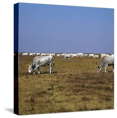 Hungarian White Cattle-CM Dixon-Stretched Canvas Print