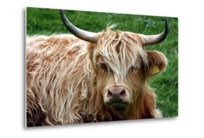Highland Cattle, Scotland-Peter Thompson-Metal Print