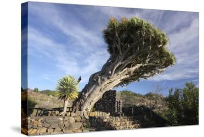 Dragon Tree, La Palma, Canary Islands, Spain, 2009-Peter Thompson-Stretched Canvas Print