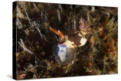 Nembrotha Chamberlaini with Feeding Appendage Extended-Stocktrek Images-Stretched Canvas Print