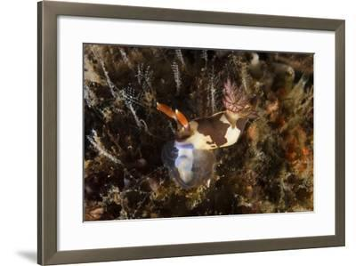 Nembrotha Chamberlaini with Feeding Appendage Extended-Stocktrek Images-Framed Photographic Print