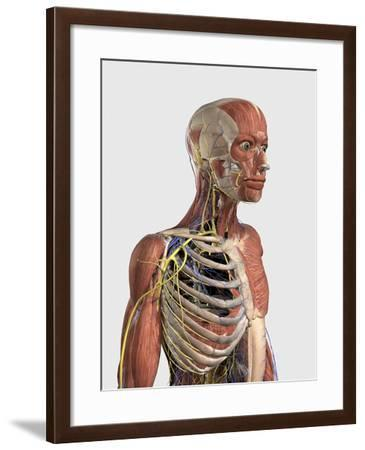 Human Upper Body Showing Muscle Parts, Axial Skeleton, Veins and Nerves-Stocktrek Images-Framed Art Print