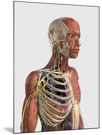 Human Upper Body Showing Muscle Parts, Axial Skeleton, Veins and Nerves-Stocktrek Images-Mounted Art Print