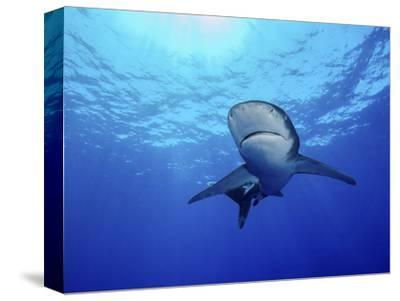 Rays of Light Shining Above an Oceanic Whitetip Shark-Stocktrek Images-Stretched Canvas Print