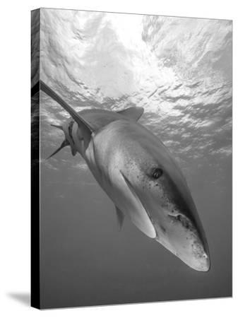 Oceanic Whitetip Shark, Cat Island, Bahamas-Stocktrek Images-Stretched Canvas Print