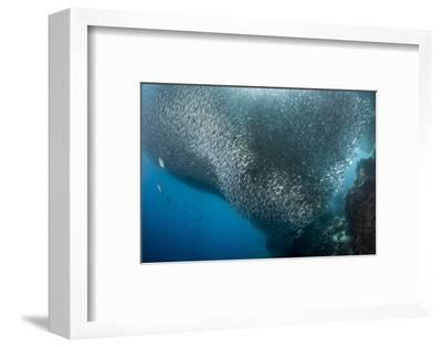 Massive School of Millions of Sardines, Cebu, Philippines-Stocktrek Images-Framed Photographic Print