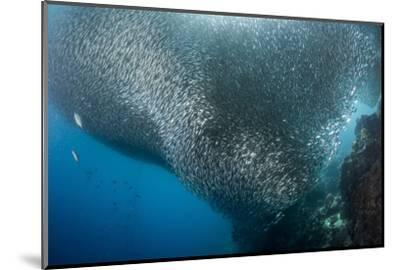 Massive School of Millions of Sardines, Cebu, Philippines-Stocktrek Images-Mounted Photographic Print