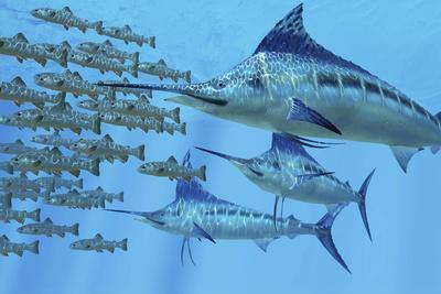 A School of Amemasu Fish Try to Evade Three Large Marlin Predators-Stocktrek Images-Framed Art Print