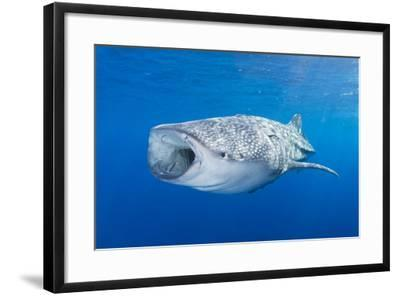 Whale Shark Descending to the Depths with Mouth Wide Open-Stocktrek Images-Framed Photographic Print
