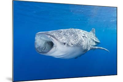 Whale Shark Descending to the Depths with Mouth Wide Open-Stocktrek Images-Mounted Photographic Print