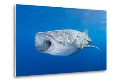 Whale Shark Descending to the Depths with Mouth Wide Open-Stocktrek Images-Metal Print