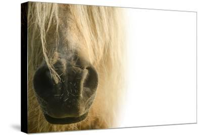 White Pony. Nose Pony on White Background- swevil-Stretched Canvas Print