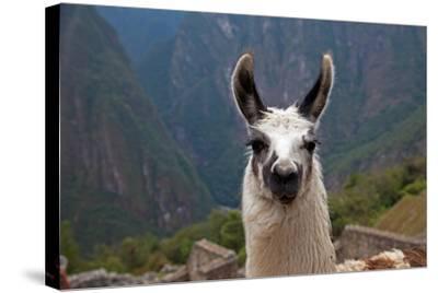 Alpaca at Machu Picchu-Gail Johnson-Stretched Canvas Print