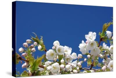 Cherry Blossom-torekimi-Stretched Canvas Print