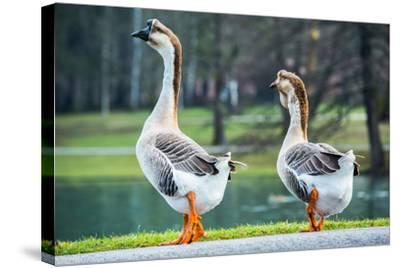 Pair of White Chinese Geese in A Park-zlikovec-Stretched Canvas Print