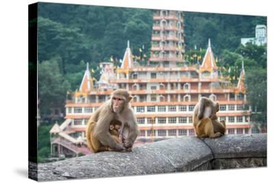 Indian Macaque Monkeys-asaf eliason-Stretched Canvas Print