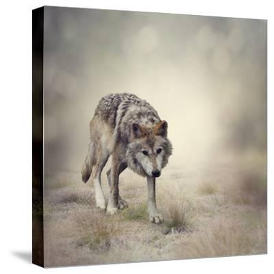 Portrait of Gray Wolf Walking-abracadabra99-Stretched Canvas Print