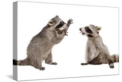 Two Funny Raccoon Playing Together-Sonsedskaya-Stretched Canvas Print