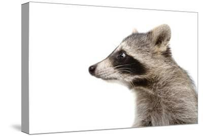 Portrait of a Raccoon in Profile-Sonsedskaya-Stretched Canvas Print