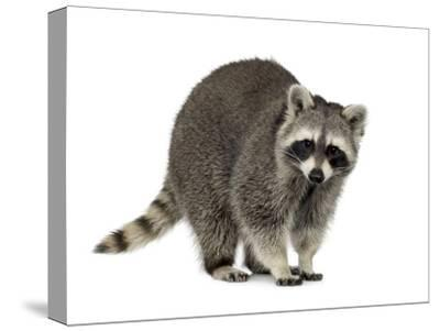 Raccoon (9 Months) - Procyon Lotor-Life on White-Stretched Canvas Print