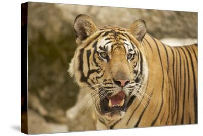 Adult Indochinese Tiger.-Dmitry Chulov-Stretched Canvas Print