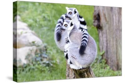 Two Lemurs Sitting on a Log-stefano pellicciari-Stretched Canvas Print