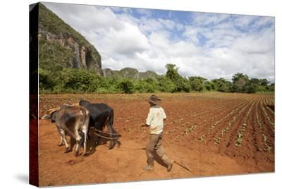 The Farmer in Vinales Valley, Cuba-Hakki Ceylan-Stretched Canvas Print