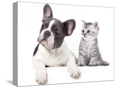 Cat and Dog, British Kitten and  French Bulldog Puppy-Lilun-Stretched Canvas Print