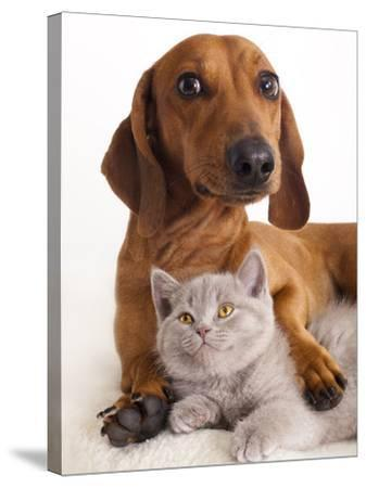 British Kitten  and Dog Dachshund-Lilun-Stretched Canvas Print