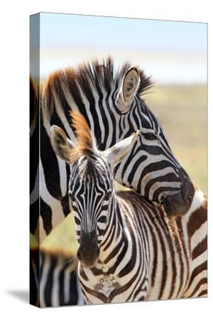 Baby Zebra with Mother-MattiaATH-Stretched Canvas Print