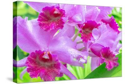 Cattleya Orchid-Island Leigh-Stretched Canvas Print