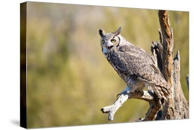Great-Horned Owl , Arizona-Birdiegal-Stretched Canvas Print