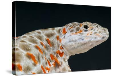 Leopard Lizard / Gambelia Wislizenii-Matthijs Kuijpers-Stretched Canvas Print