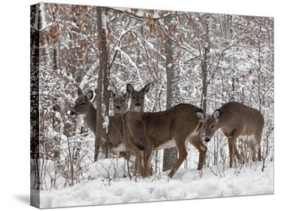 Whitetail Deer-Lynn_B-Stretched Canvas Print