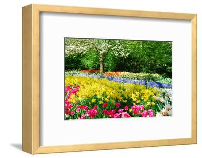 Colorful Springflowers and Blossom in Dutch Spring Garden 'Keukenhof' in Holland-dzain-Framed Premium Photographic Print