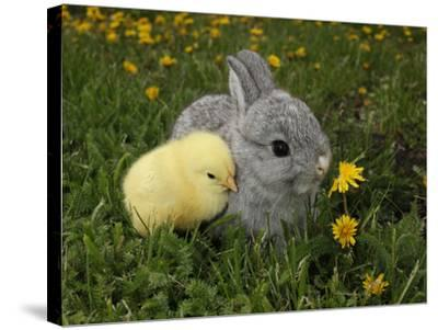 Gray Rabbit Bunny Baby and Yellow Chick Best Friends-Richard Peterson-Stretched Canvas Print