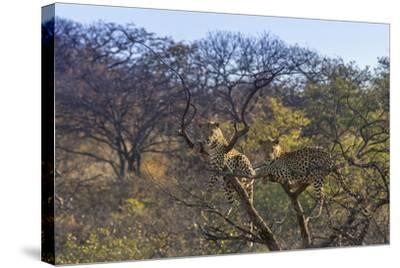 Males in a Tree-PattrickJS-Stretched Canvas Print