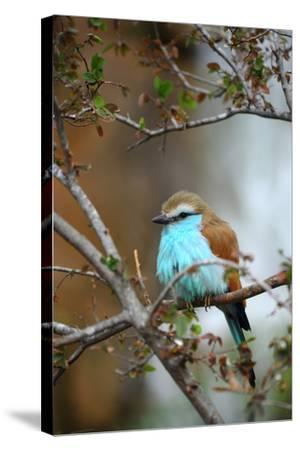 Racket-Tailed Roller-guntherize1-Stretched Canvas Print