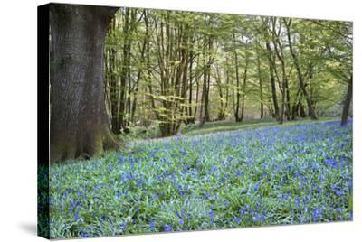 Bright Fresh Colorful Spring Bluebell Wood-Veneratio-Stretched Canvas Print