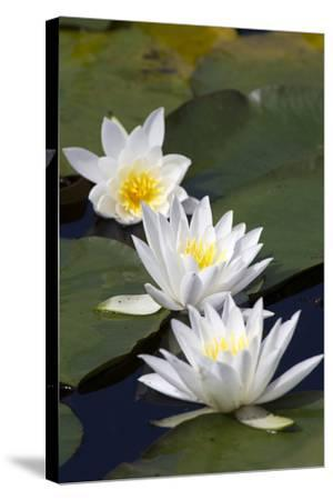 Three Water Lilies.-gjphotography-Stretched Canvas Print